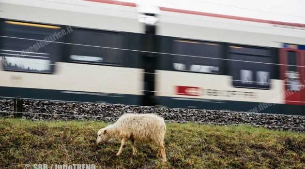 Le pecore FFS per la pulizia delle scarpate